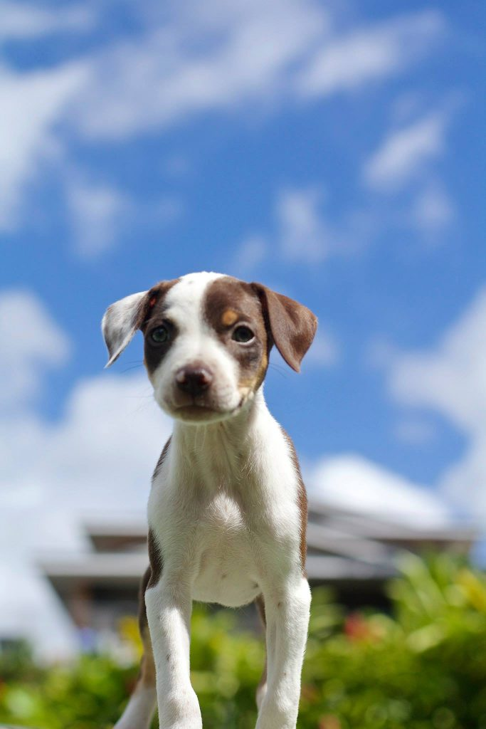 paws of hawaii puppies in need